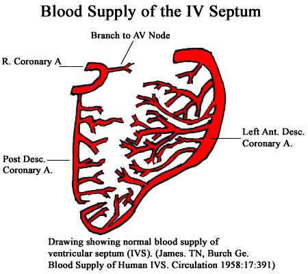 The normal blood supply of the human ventricular septum