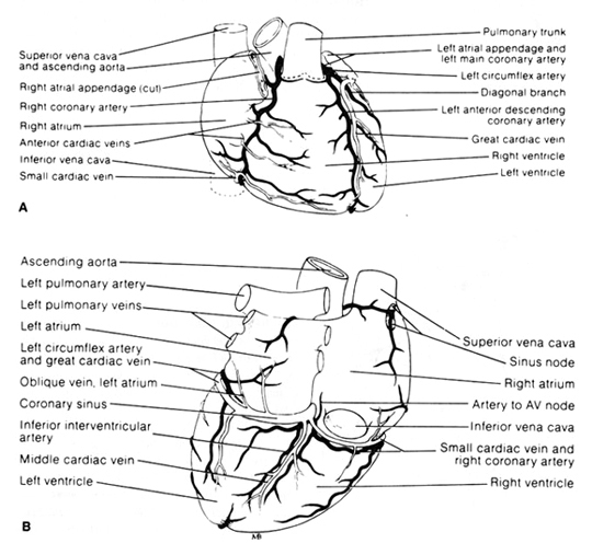 The principal arteries and veins